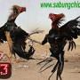 Judi Sabung Ayam Bangkok Online