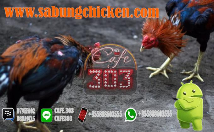 Agen Sabung Ayam Resmi Bonus 100